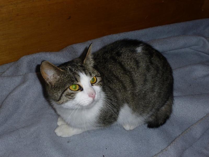MELODIE, très belle petite chatte de 6 mois blanche et tigrée P1030719
