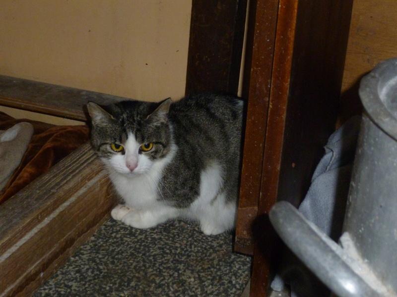 MELODIE, très belle petite chatte de 6 mois blanche et tigrée P1030720