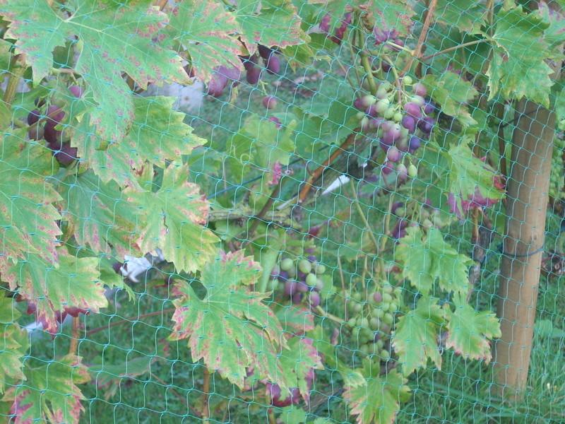 Avez-vous une vigne ? - Page 2 07010