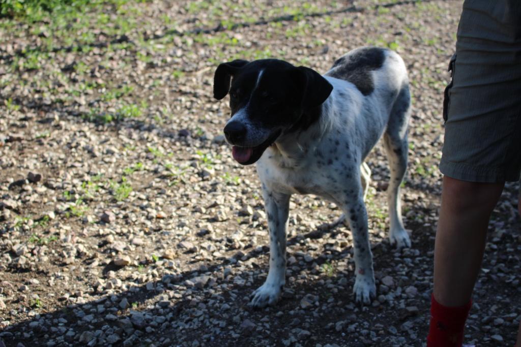 GWEN DU - Male  - Croisé pointer - 10 ans - Sauvé de l'euthanasie - FALD Img_4713