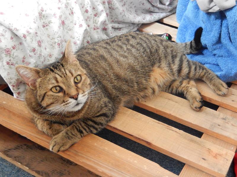 Zigual, mâle européen tigré né le 01/06/2012 Dscn8513