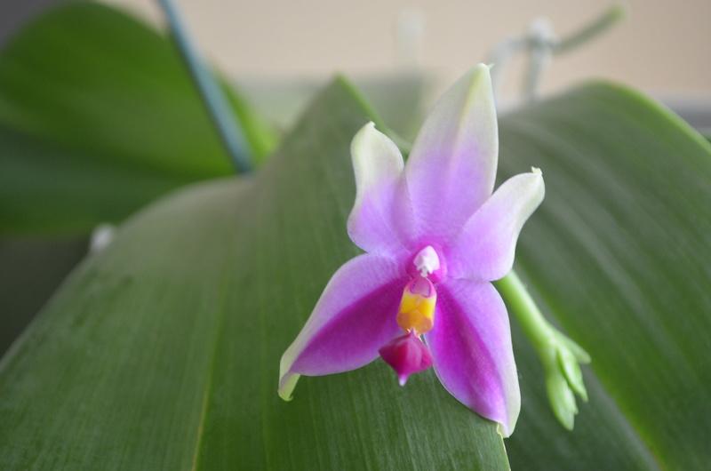 Phalaenopsis bellina x violacea (Samera) - Seite 2 09101612