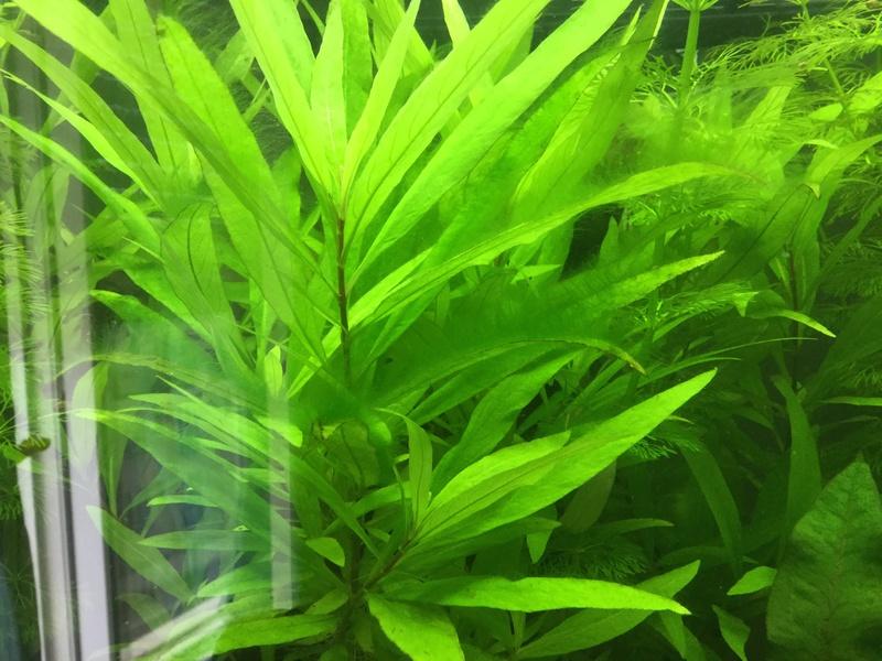 URGENT Algues filamenteuses vertes et carences Image20