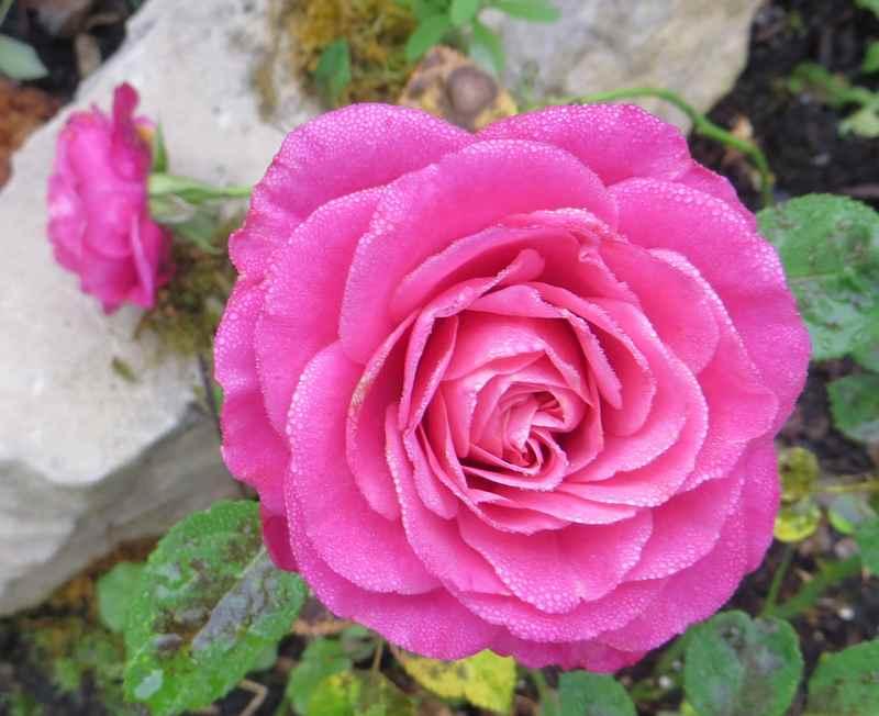 Le jardin en rose ! 00813