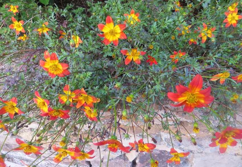 bidens ? oui = bidens beedance painted red 01810