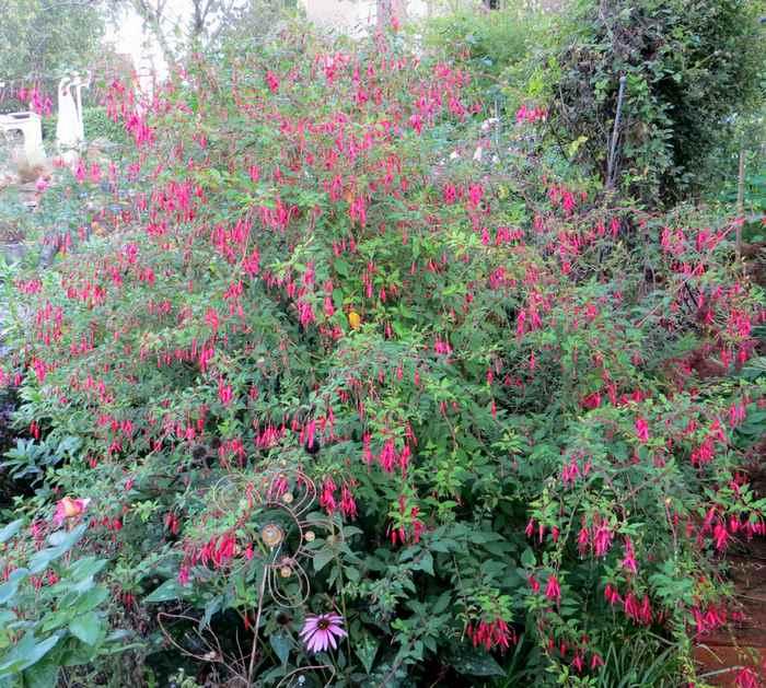 Le jardin en rose ! - Page 2 Fuschi12