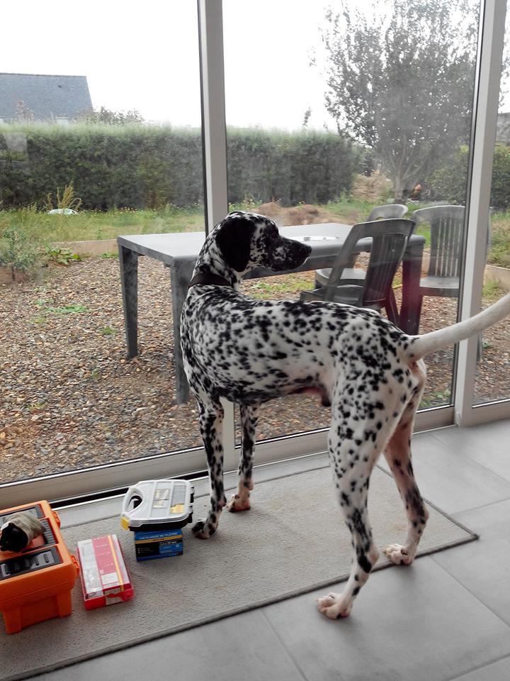 IDENTIC, mâle dalmatien, 3 ans 14517510