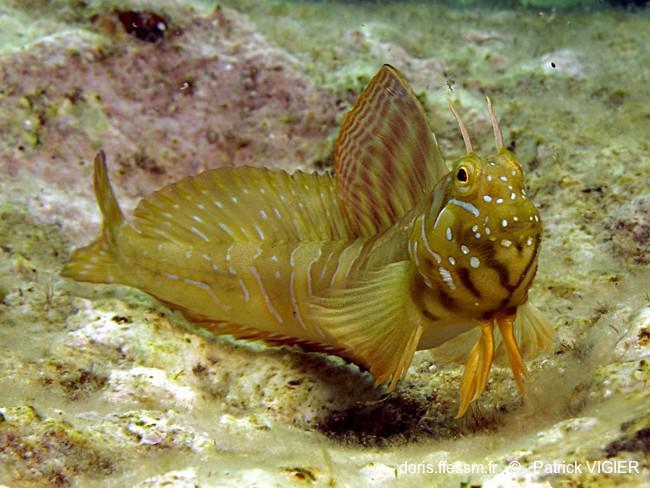 Détermination espèce poisson Sphinx10