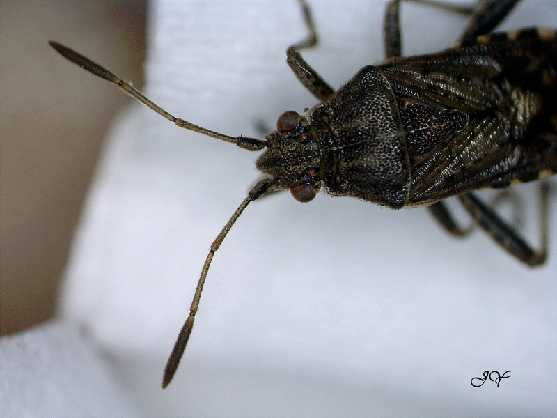 [Stictopleurus sp.] Rhopalidae.    13_oct10