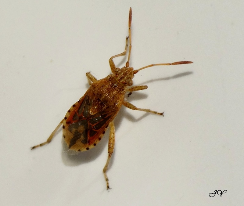 [Stictopleurus sp.] Rhopalidae.    Abutil10