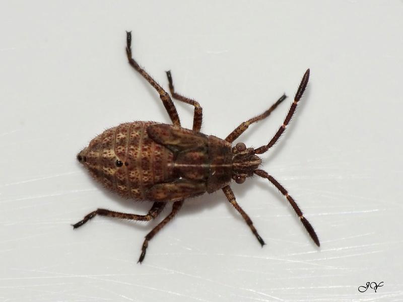 [Stictopleurus sp.] Rhopalidae.    Dsc07710