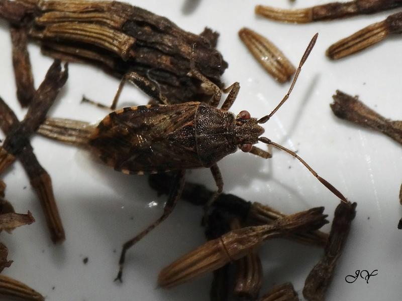 [Stictopleurus sp.] Rhopalidae.    Dsc08510