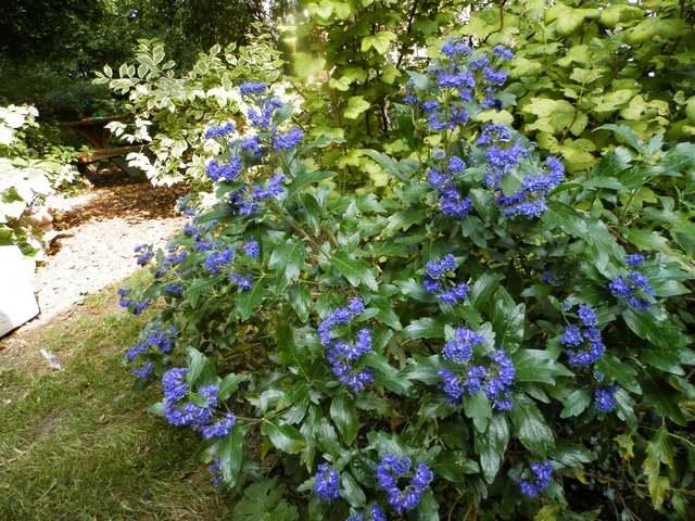 Blue..........bleu !!! - Page 13 Caryop10