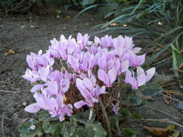 Le jardin en rose ! Cyclam10