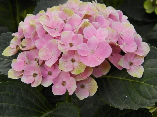 Le jardin en rose ! Magica10