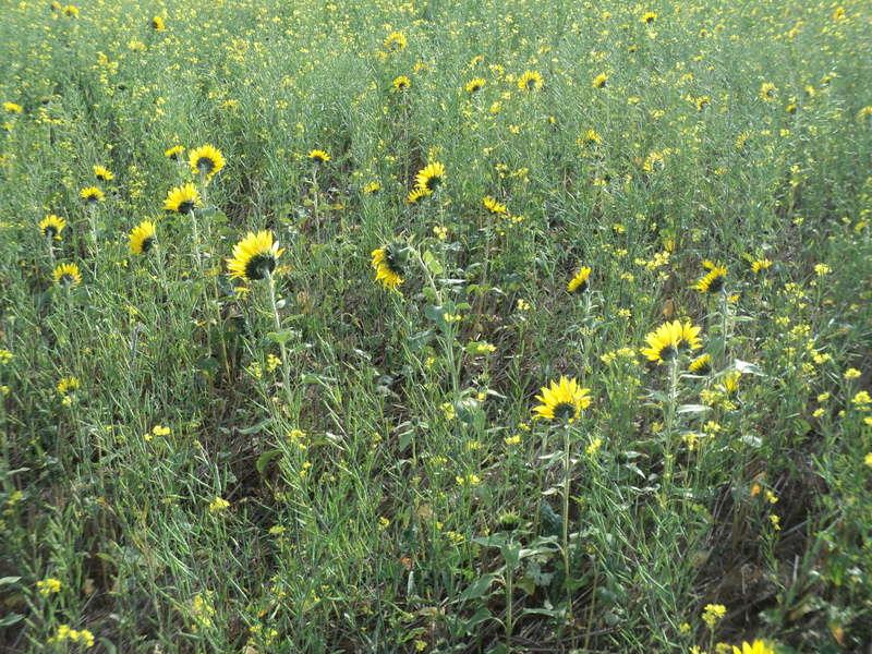 Couvert végétal Couver17