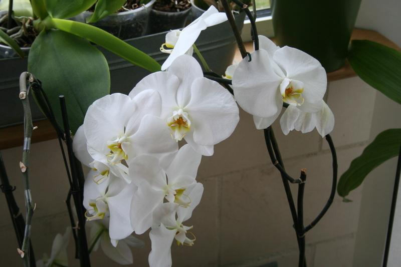 phalaenopsis blanc a fleurs enooooooooormes - Page 4 Img_3319