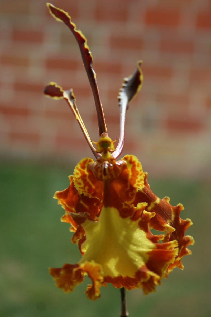 psychopsis mariposa Img_3320