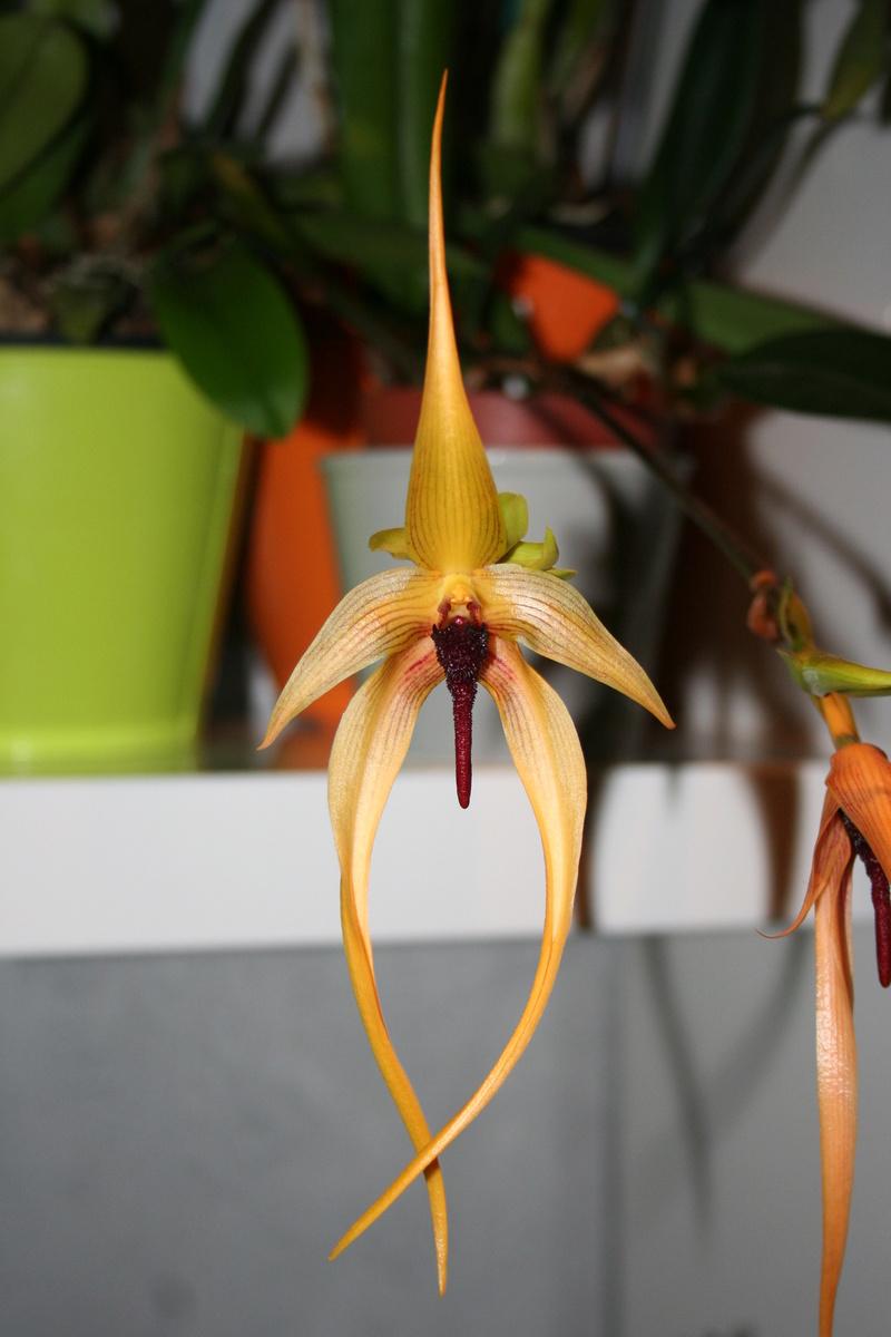 bulbophyllum Echinolabium x carunculatum Img_3325