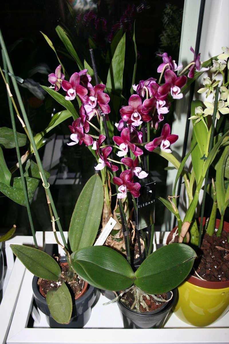 phalaenopsis kaoda Img_3327
