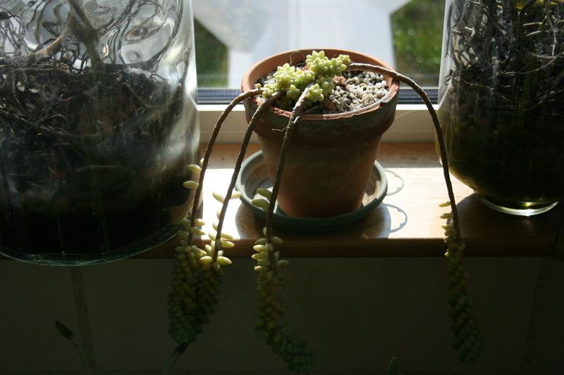 hivernage de mes succulentes Img_3420