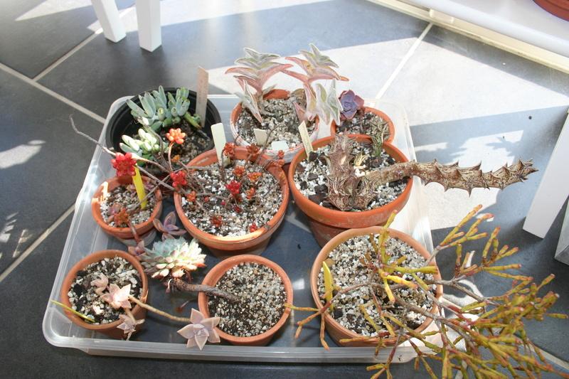 hivernage de mes succulentes Img_3424