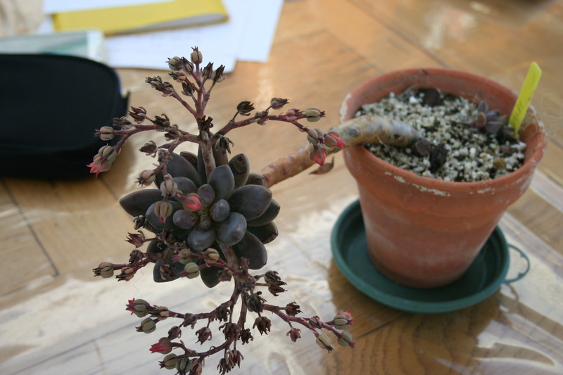 hivernage de mes succulentes Img_3425