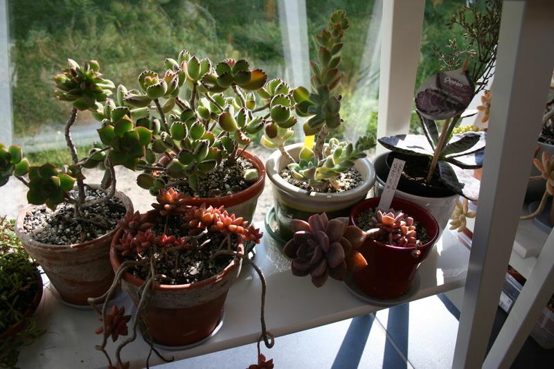 hivernage de mes succulentes Img_3427