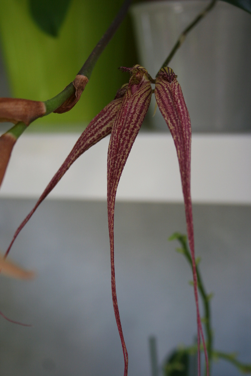 bulbophyllum Elisabeth Ann Buckelburry Img_3435