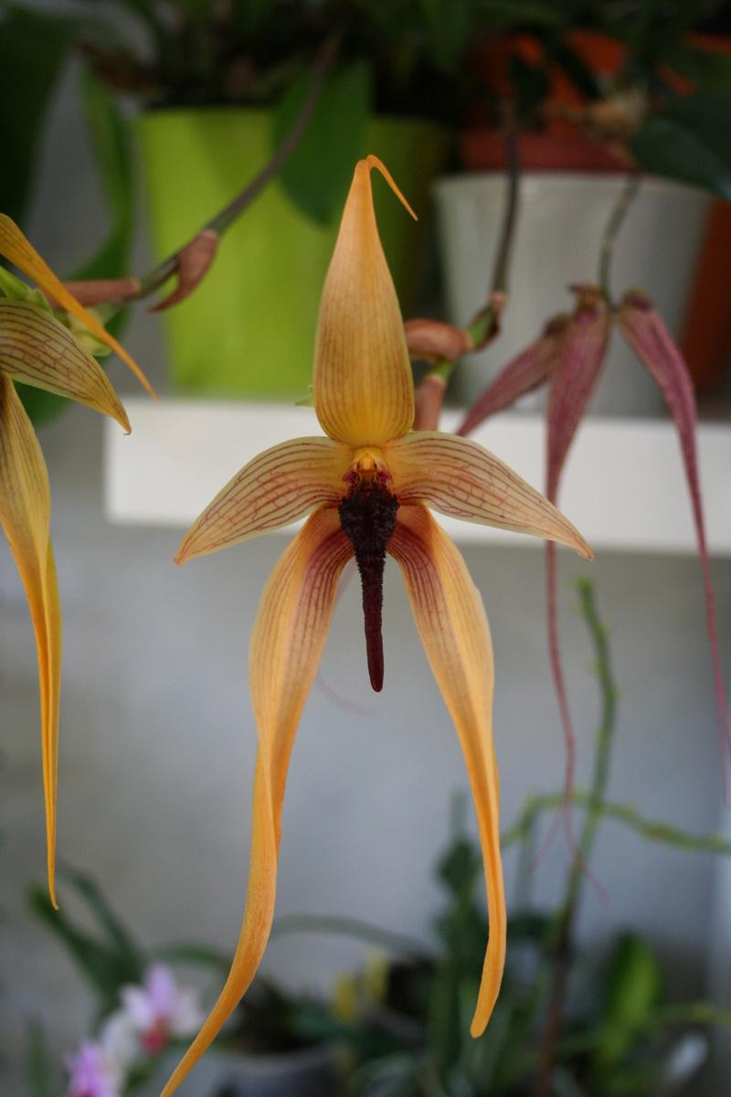 bulbophyllum Echinolabium x carunculatum Img_3437