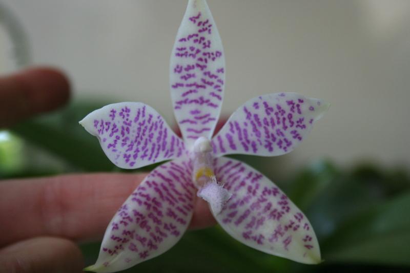 phalaenopsis  hieroglyphica Img_3439