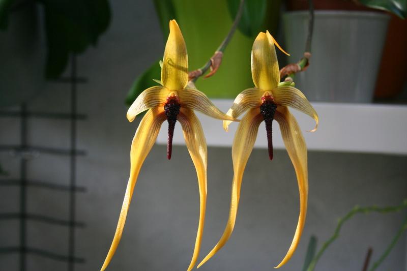 bulbophyllum Echinolabium x carunculatum Img_3710