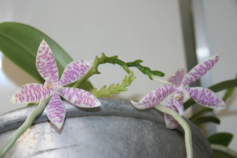 phalaenopsis  hieroglyphica Img_3711