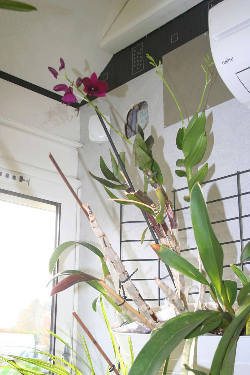 Dendrobium de type phalaenopsis thai black - Page 3 Img_3713