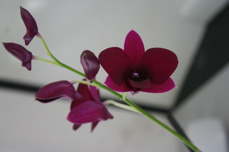 Dendrobium de type phalaenopsis thai black - Page 3 Img_3714