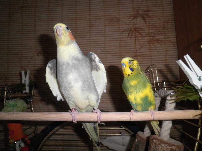 Mes colocataires à plumes ! - Page 4 Pb070011