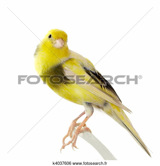 Photos d'oiseaux sur fond blanc K4037610