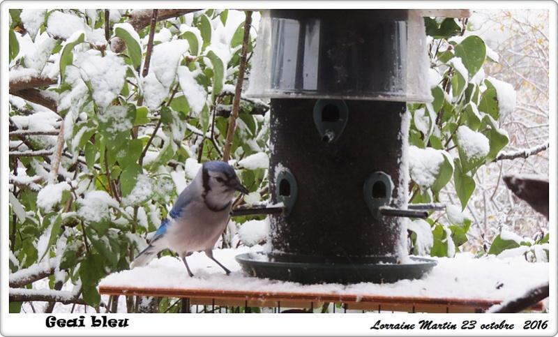 Oiseaux dans la neige  Geai_b15