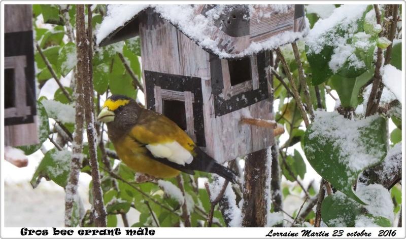 Oiseaux dans la neige  Gros_b23