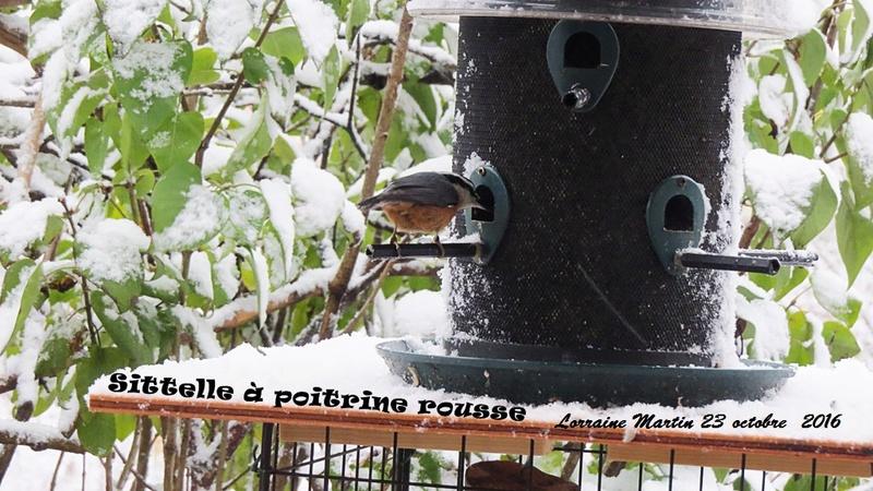 Oiseaux dans la neige  Sittel10
