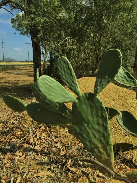 Opuntia stricta or ficus indica Img_3013