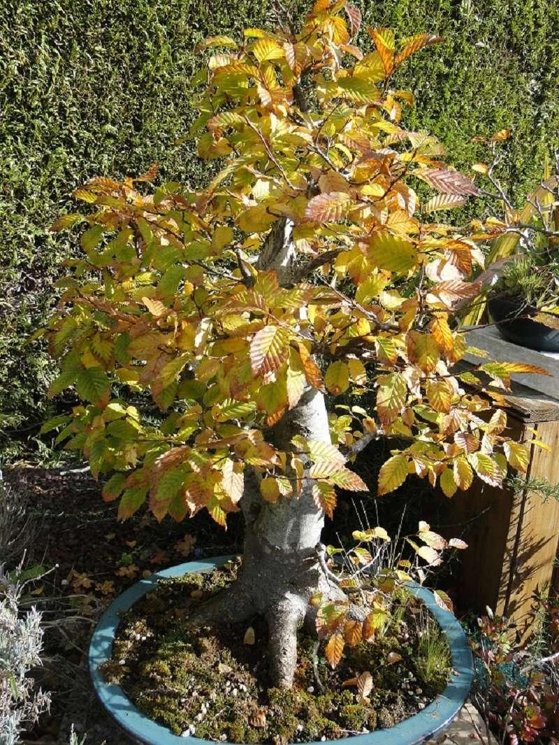 nos bonsaï au couleur d'automne  Dsc00020
