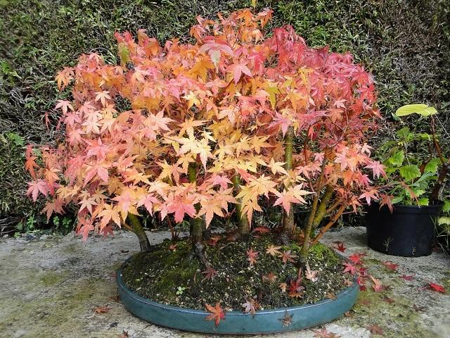 nos bonsaï au couleur d'automne  Dsc00021