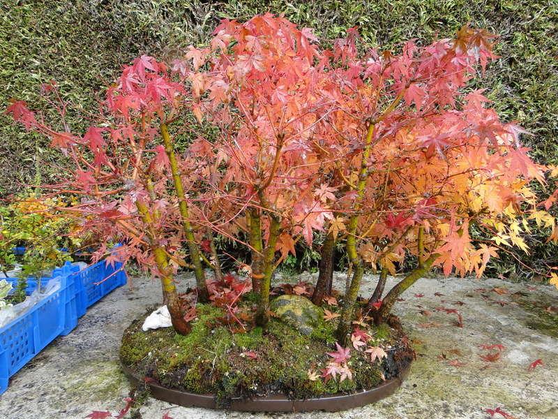 nos bonsaï au couleur d'automne  Dsc00022
