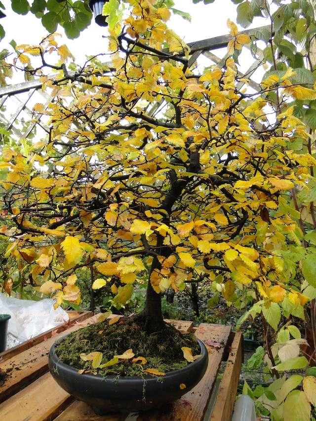 nos bonsaï au couleur d'automne  Dsc00023