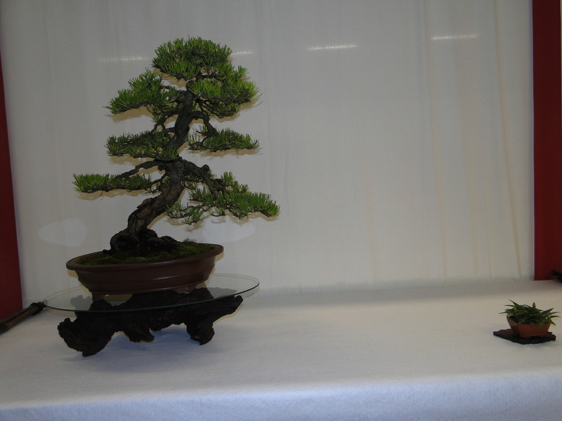 Salon national du bonsaï - Parc Oriental de Maulévrier 10 et 11 septembre  Dsc09722