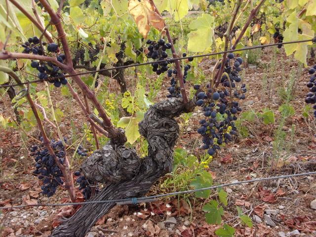 Avez-vous une vigne ? - Page 2 106_0047