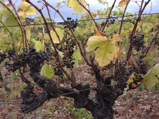 Avez-vous une vigne ? - Page 2 106_0048