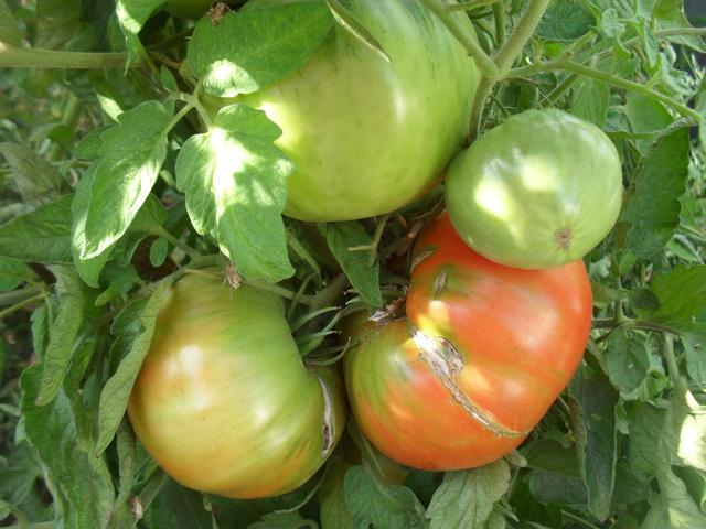 Tomates - Page 38 Sam_9315
