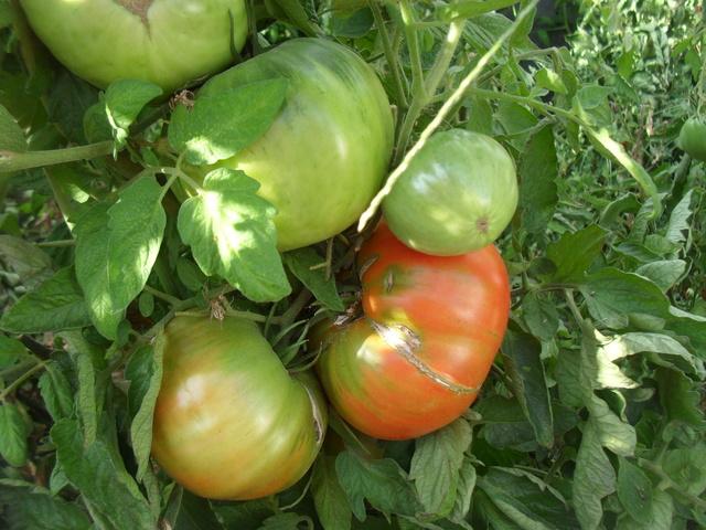 Tomates - Page 38 Sam_9316